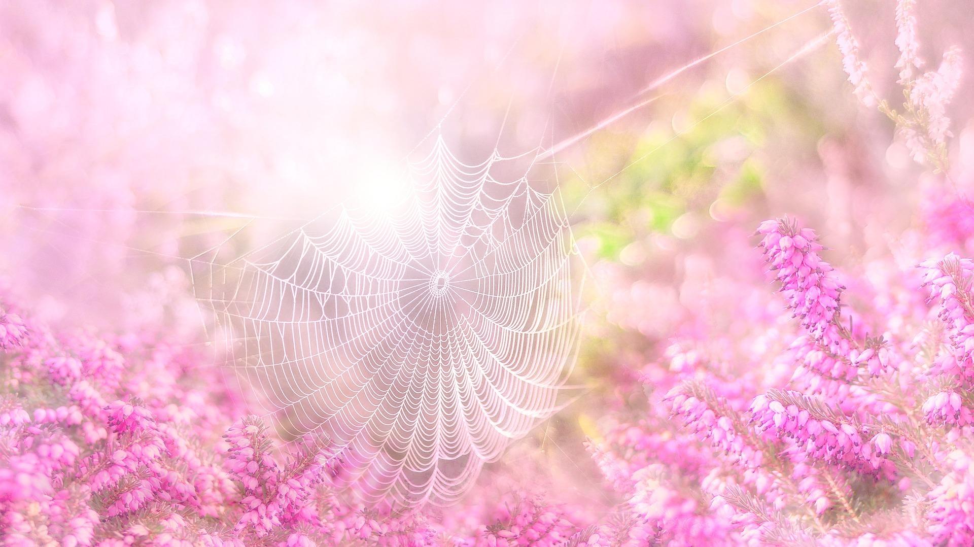 Heide met spinneweb. Foto Pixabay