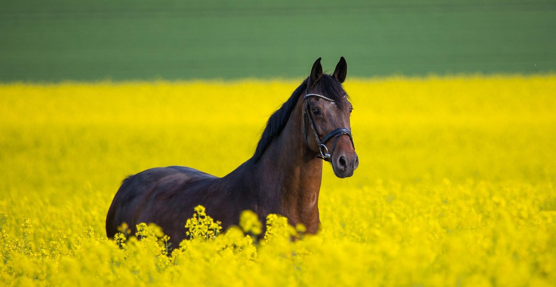 Paard in koolzaadveld. Foto: Pixabay