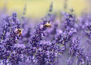 Bijen in lavendel. Foto Pixabay.