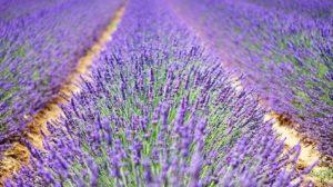 Lavendelveld. Foto Pixabay