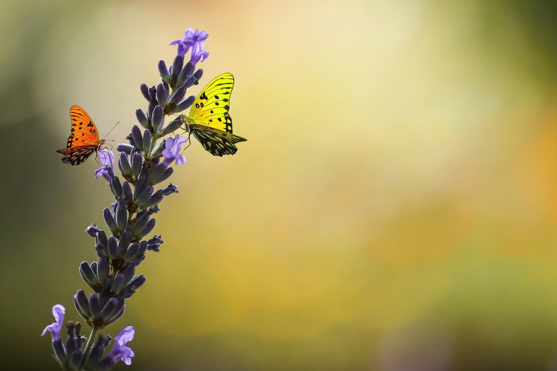 Vlinders op lavendel Bollenstreek. Foto pixabay