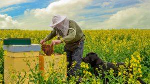 Bijen zijn dol op koolzaad. Foto: Pixabay