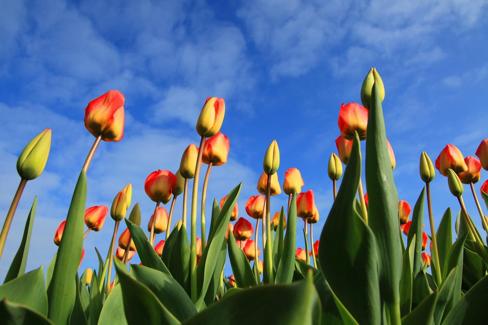 Tulpen Noordoostpolder. Foto Pixabay