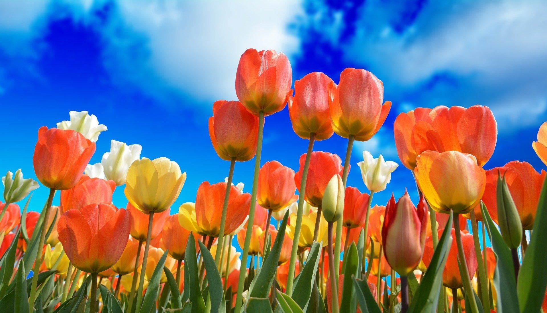 bollenstreek tulpen
