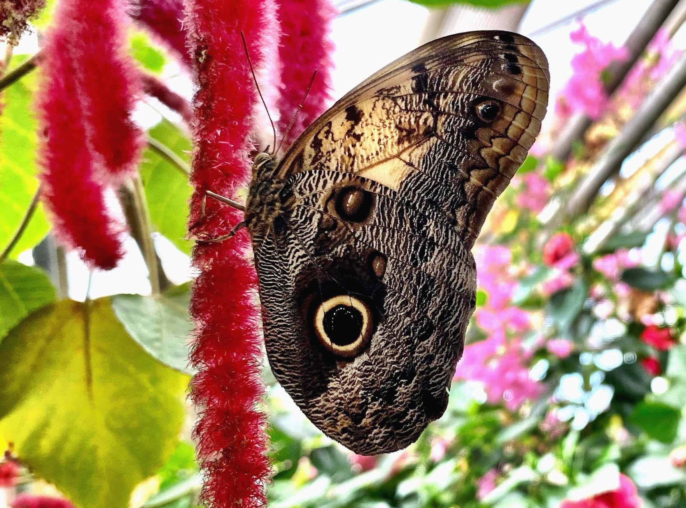vlinder in hortus leiden